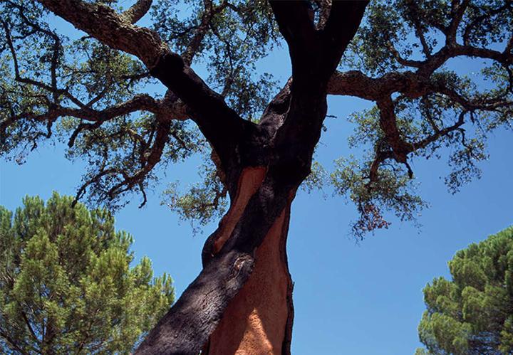 изображение пробкового дерева